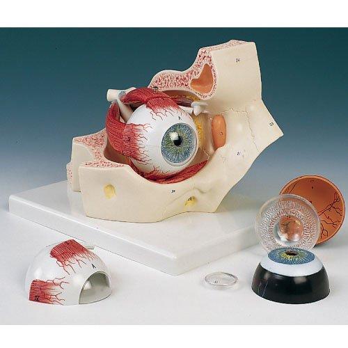 新しいブランド 視覚器(眼球)と眼窩7分解モデル F13 F13 (18X26X19cm) B010AOG2HK B010AOG2HK, 大蔵村:bdeaf4a4 --- a0267596.xsph.ru