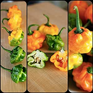 Fresh Pods,True 4 lb Jamaican Scotch Bonnet Pepper (TFM)Real Scotch Bonnet ,Not Habanero,Frequently Confused with Habanero, SEPT,OCT Only