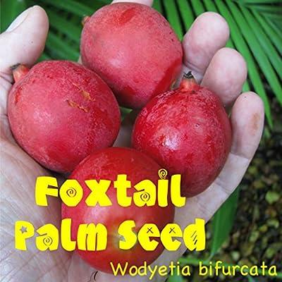 10 FOXTAIL Palm Tree Wodyetia bifurcata the BEST SEEDS are from Hawaii Easy Grow