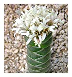 Crassula columnaris - Buddha temple - 10 seeds