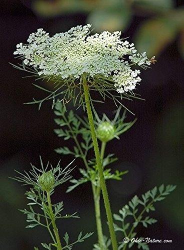 QUEEN ANNE'S LACE, Bishop's Flower