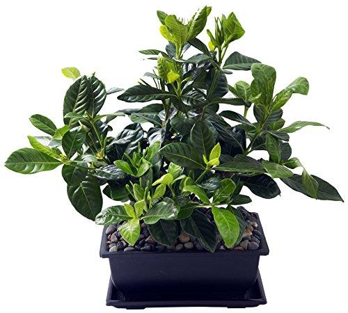 KaBloom Gardenia Bonsai Tree