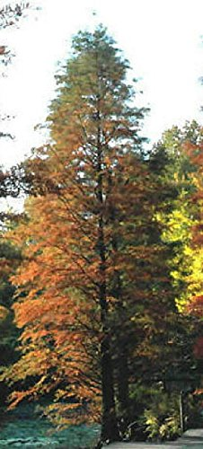 Grow Bald Cypress - Hardy Bald Cypress Tree Seedling grows HARDY North and South LIVE PLANT