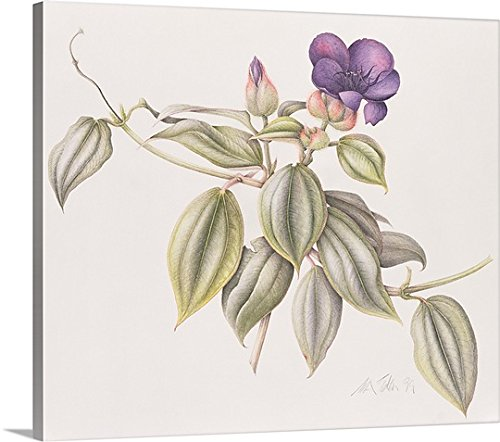 Tibouchina Urvilleana Princess Flower (Margaret Eden Premium Thick-Wrap Canvas Wall Art Print entitled Glory Flower (Tibouchina Urvilleana) 1999)