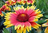 Arizona Sun Gaillardia , 25+ Seeds Organic, Beautiful Bright Large Cut Flower