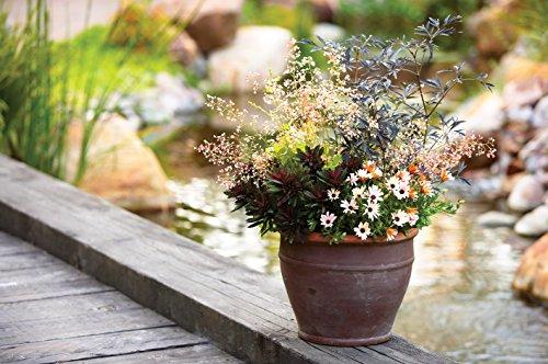 Black Lace Elderberry (Sambucus) Live Shrub, Pink Flowers, 4.5 in. Quart by Proven Winners (Image #7)