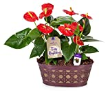 #2: Hallmark Flowers Happy Hearts Anthurium Garden in 10-Inch Purple Tin Container