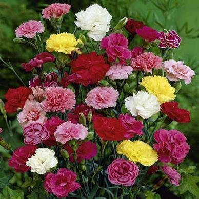 David's Garden Seeds Flower Carnation Grenadin Double Mix D05307 (Multi) 100 Open Pollinated Seeds