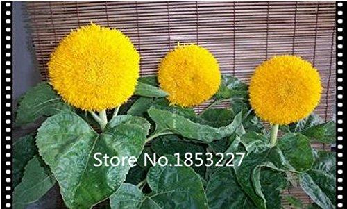 テディベア日の花の種子50PCS日の花の種バルコニー鉢植え植物への簡単な庭の盆栽フラワー種子植物 B01LVWGTXU