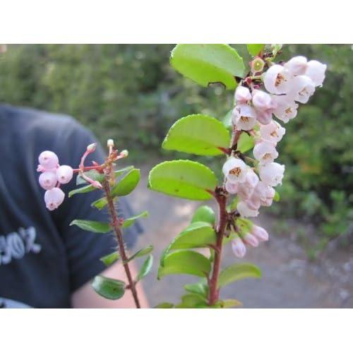on sale 100 GARDEN HUCKLEBERRY (Ground Cherry) Solanum Melanocerasum ...
