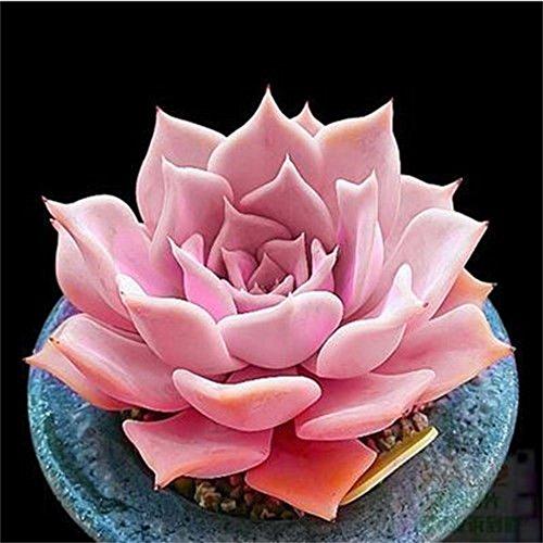 - Live Succulent Lithops Cactus Plant | Echeveria Lucila