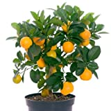 Navel Orange Tree - Large Orange Citrus Trees - Pick Oranges The First Year! - 1-2 ft.