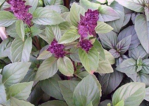 Thai Basil,also Known As Thai Purple Basil, Asian Basil (500 Herb Seeds) Organic