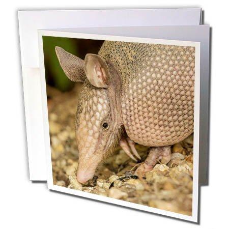 (3dRose Danita Delimont - Armadillo - USA, Louisiana, Lake Martin. Nine-banded armadillo portrait - 6 Greeting Cards with envelopes (gc_259369_1))