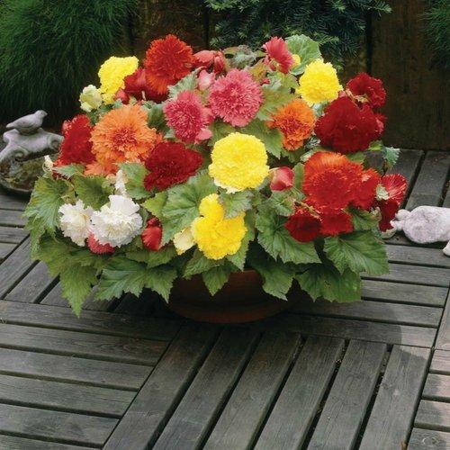 Begonia Ruffle Mix - 4 Bulbs