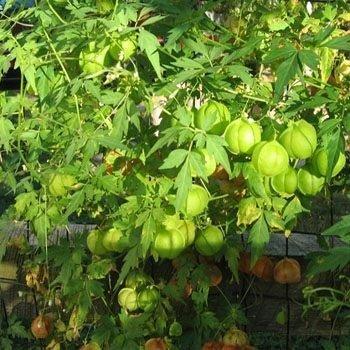 Outsidepride Balloon Vine Cardiospermum Halicacabum Plant Seed - 200 Seeds