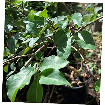 TLP 1 Pcs Live Plant Acerola Live Fruit Tree - 143EB : Garden & Outdoor