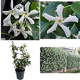 SS0144 Plant Confederate Star Jasmine Garden 6'' Pot/Trellis Extremely Fragrant Vine New