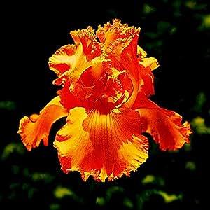 50pcs / bag semillas de orquídeas Iris, bonsai planta perenne semillas de flores de mariposa del iris para el jardín de la plantación de 12