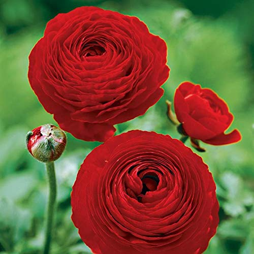 (Ranunculus (Bulbs), Red Persian Buttercup,Deer Resistant,Great for Containers,Long-Lasting Cut Flowers (20 Bubls) by AchmadAnam)