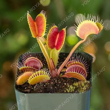 50 Pcs Seeds Potted Insectivorous Dionaea Muscipula Giant Clip Venus Flytrap NEW