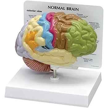 Amazon.com: Human Brain Anatomical Model - Half Brain: Industrial ...