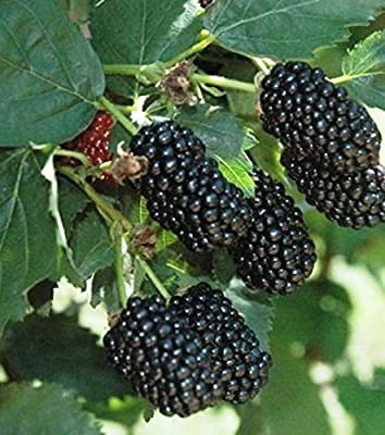 "Blackberry Plants ""Prime-Ark Freedom"" Price Includes Four (4) Plants"