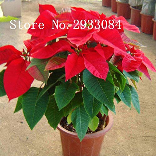 Go Garden 100 pcs Poinsettia Seeds, Euphorbia Pulcherrima, Potted Plants, Rare Flowering Plants Seeds for hjome Decoration: Red