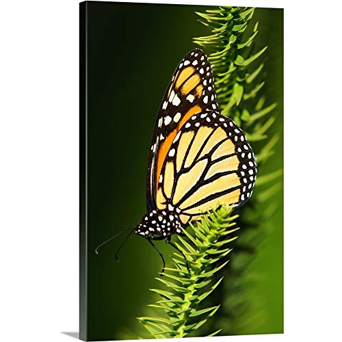 GREATBIGCANVAS Gallery-Wrapped Canvas Entitled Monarch Butterfly at Marie Selby Botanical Gardens. by 40