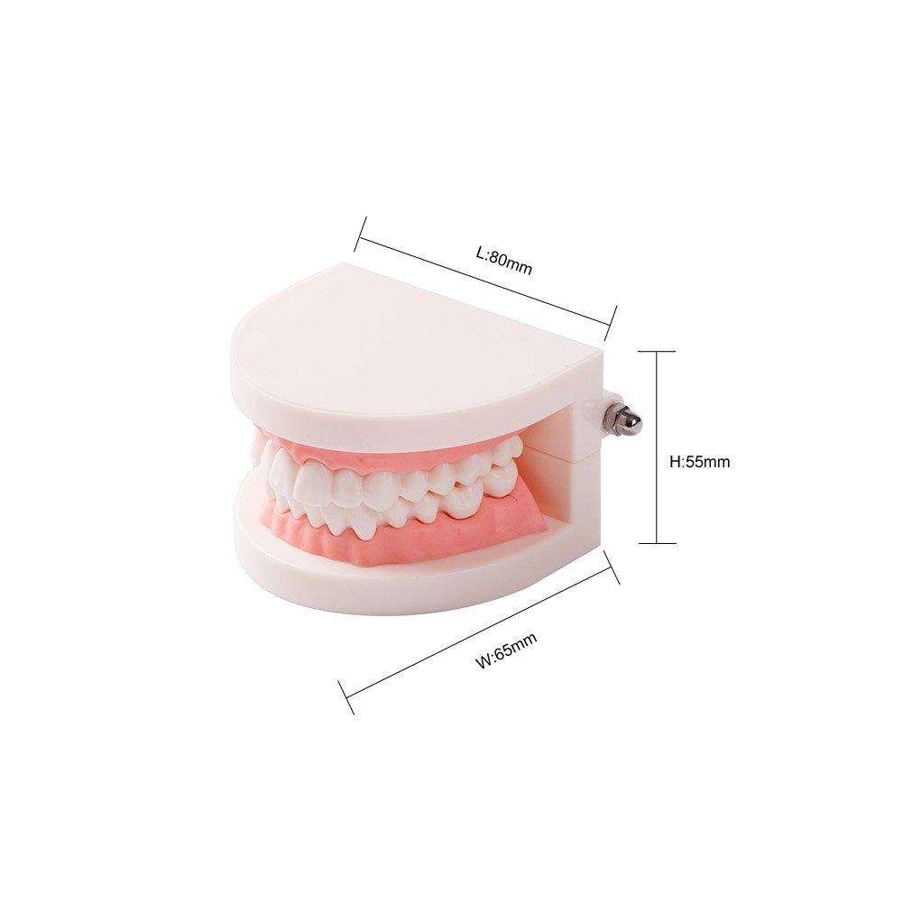 Easyinsmile Dental Standard Teeth Teaching Model Kids Denture Model Tooth Model for Student
