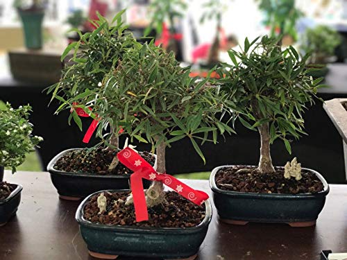Willow Leaf Ficus Bonsai Tree/Bonsai Gift/Wedding Favors