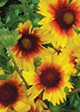 Blanket Flower (Gaillardia aristata), 200 Certified Pure Live Seed, True Native Seed