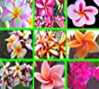 100 Fresh Seeds Plumeria Agave Rare Real Mix Set8