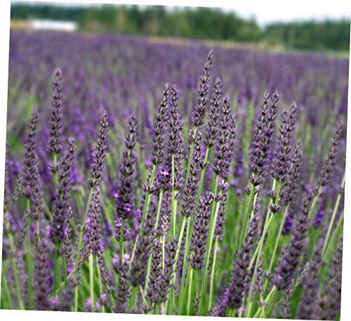 VERR Grosso Lavender