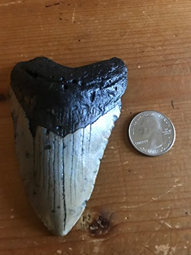 Genuine Authentic Megalodon Fossil Shark Tooth 3 to 3 1/2 Inches
