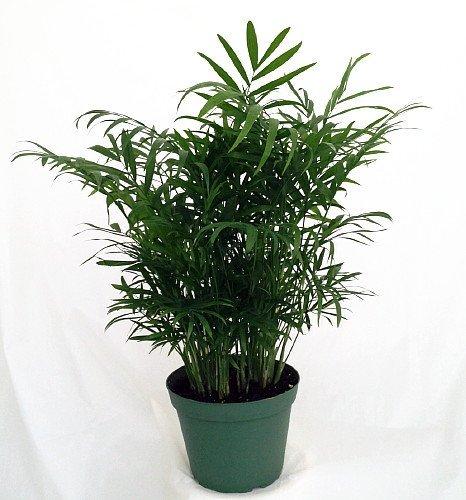 jm bamboo-Victorian Parlor Palm - Chamaedorea - Indestructable - 4