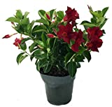 "Red Brazilian Jasmine Plant 6"" Pot - Indoors/Out - Mandevilla"
