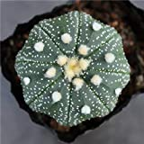 Pack of 2 Live Plants,Mini Succulents Fat Plant,Astrophytum (Diameter:1-1.2 Inch)
