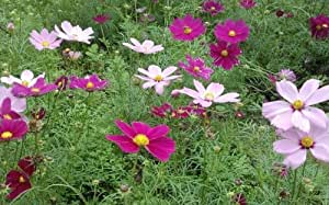 SD1500-0115 Cosmos Flower Seeds, Tubular Seeds, 60-Days Money Back Guarantee (60 Seeds)