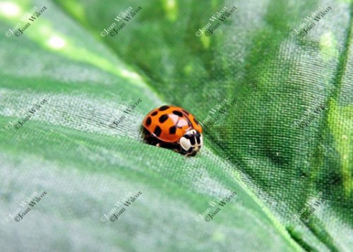 Cute Little Ladybug Spotted Spring Lady Bug Insect on Leaf Original Fine Art Photography Wall Art Photo Print