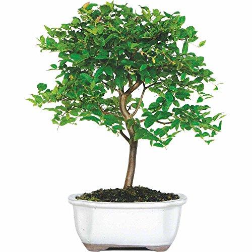 Jaboticaba Bonsai Tree Indoor Easy To Grow Starter Plant, Cinnamon ...