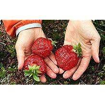 Seeds Giant Strawberry Alyy Ogonek - Scarlet Light Russian Berries NON-GMO