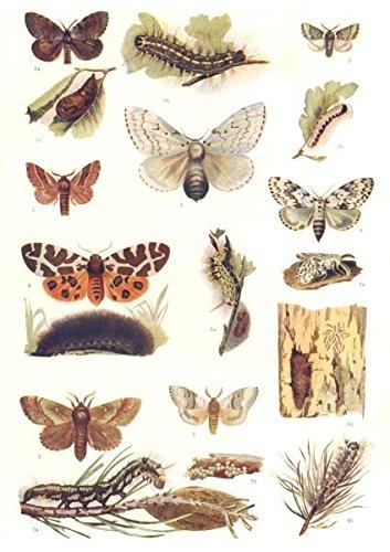 (MOTHS. Gypsy, Tiger, Psilura, Lackey, Tussock, Pine; caterpillar; Pupa - 1907 - old print - antique print - vintage print - Lepidoptera art prints)