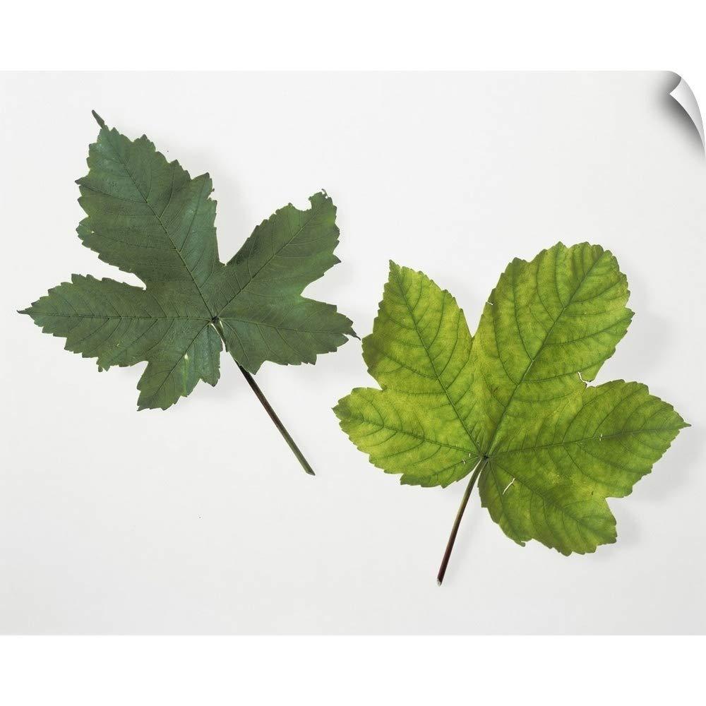 CANVAS ON DEMAND Leaf Chlorophyll Deficiency Wall Peel Art Print, 48''x38''