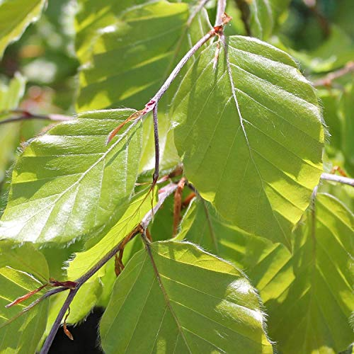 50 : Sycamore Trading FAGUS sylvaticia. Much Better Known as Green Beech or Common Beech. (50)