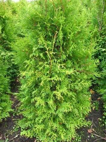 Platz 1 – Brabant Lebensbaum Thuja occidentalis Brabant 80 – 100 cm hoch im 5 Liter Pflanzcontainer
