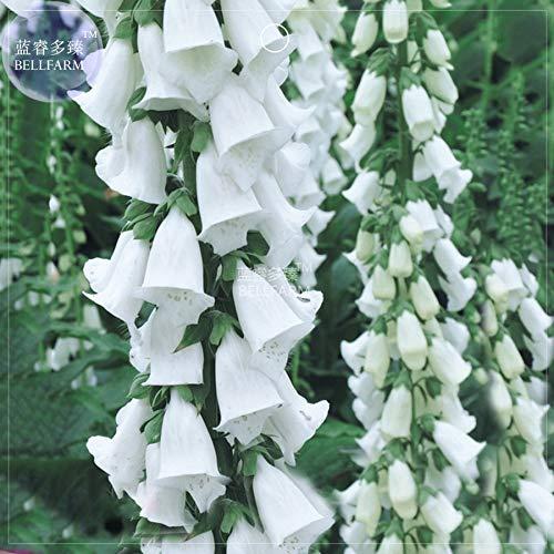(Go Garden BELLFARM Bonsai White Foxglove Digitalis purpurea Perennial Flower Perennial Root Herbs High Germination -50pcs/Pack)
