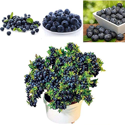 Shopmeeko Bonsai 100 samen/pack Blaubeer-Baum-Frucht Blaubeer-Topf-Bonsai-Anlage Wuhaimei Poniric