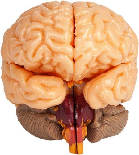 smartlab toys the amazing squishy brain - buy online in uae