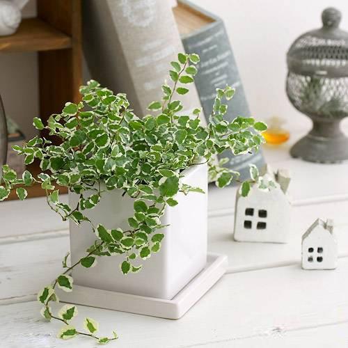フィカス プミラ サニーホワイト 陶器鉢植え